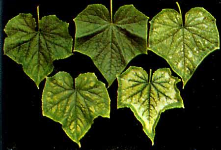 Кончики листьев и края загибаются, в результате чего листья куполообразно выгибаются, края листьев морщинятся и...