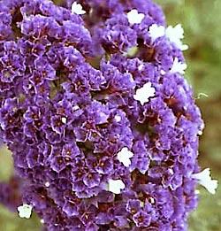 http://www.landart.ru/flowers/pic-flowers/Limonium-sinuatum-d.jpg